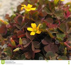 flowers and fruits creeping woodsorrel leaves flowers fruits stock photo image