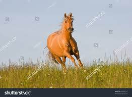 Nice Hourse Nice Palomino Horse Running Stock Photo 54265315 Shutterstock