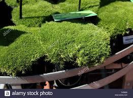 native australian ground cover plants scleranthus biflorus or known as lime lava australian native