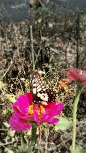 dainty swallowtail butterflies in my garden and my house the