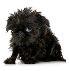 affenpinscher long hair affenpinscher trupanion breed guide