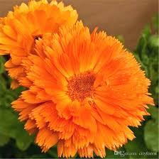 Calendula Flowers 2017 Orange Calendula Flower 200 Seeds Pot Marigold Fragrant Easy