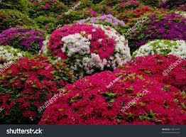 japanese garden colorful azalea flowers stock photo 12811477