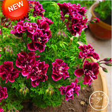 petals for sale big sale 20 seed pack crimson flower petals geranium seeds