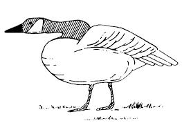 canada geese living wildlife washington department