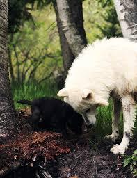 Imagenes Sorprendentes De Lobos | los lobos animales sorprendentes imágenes taringa