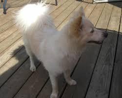 american eskimo dog calgary available dogs