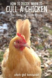 how to decide when to cull a chicken the story of little henny