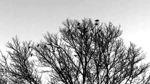 crows in trees 007