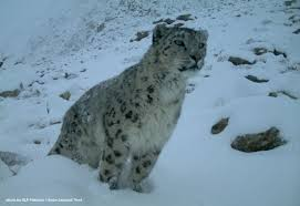 Photos Of Snow Statement On Iucn Red List Status Change Of The Snow Leopard