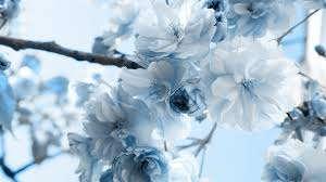 light blue flowers light blue flower wallpaper 59 images