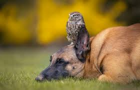 belgian shepherd owl tiny owl and giant shepherd dog have the cutest interspecies