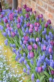 muscari and purple tulip combindation and forget me nots wow