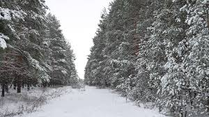 winter forest christmas tree pine trees in snow winter nature