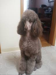 poodles long hair in winter shaving the face feet and tail sanitary and nail grinding page 2
