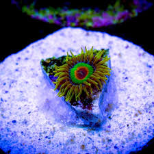 led lighting for zoanthids rasta zoanthids per polyp