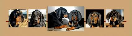bluetick coonhound rescue nc american black u0026 tan coonhound rescue home facebook