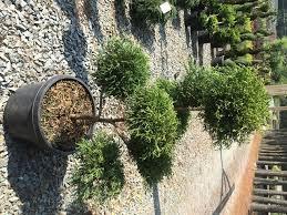 Real Topiary Trees For Sale - topiaries u0026 specialty u2013 latham u0027s nursery