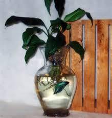 Beta Fish In Vase Betta Fish And Peace Lily Betta Fish Flower Vase Yahoo 7