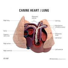 Dog Anatomy Organs Heart And Lung Anatomy Choice Image Learn Human Anatomy Image