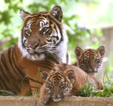tiger cubs bring to ranthambore relivearth