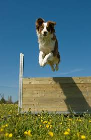 australian shepherd jumping working dog vs pet owner who wins dog training police k9