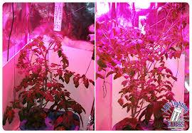 ufo led grow light sweet tangerine tomatoes grown under a growpro ufo led grow light