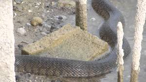 cora canap large water snake at five canal house cape coral fl