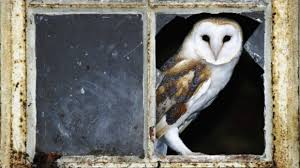 Barn Owl Holidays All About Barn Owls National Trust