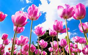 pretty wallpapers for desktop tulips flower pixelstalk net
