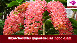 orchids flowers orchids flowers rhynchostylis gigantea lan ngoc diem hoa lan