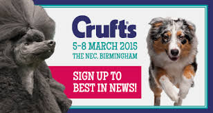 crufts australian shepherd 2014 raisin is practising for her day at crufts 2015 sunsong co uk