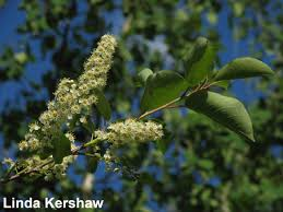 native alberta plants choke cherry