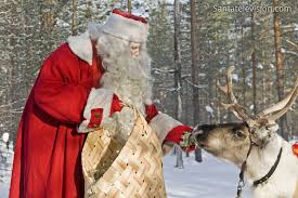 photo santa claus u0027 reindeer eating lichens lapland finland