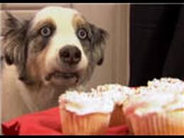 australian shepherd overbite stains an australian shepherd loves his cupcakes cute funny