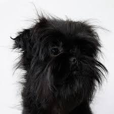 affenpinscher dogs for sale affenpinscher puppies for sale in south dakota puppies for sale