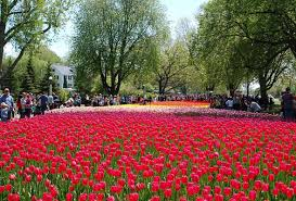 flower garden in amsterdam ottawa u0027s tulips as beautiful and fragrant as the tulips in