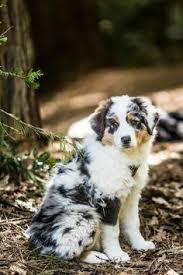 australian shepherd velcro dog cococool posing australian shepherds pinterest aussies