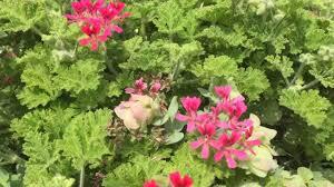 origanum kent ornamental oregano lemiaceae