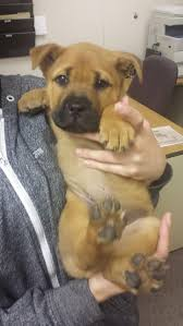 gta 5 boxer dog best 20 mastiff mix ideas on pinterest great mastiff mutt