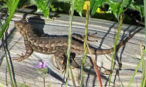 morris a lizard u0027s life isn u0027t all sun and bugs u2013 the mercury news