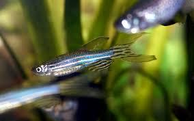 zebra danio care guide diet tank and breeding fish keeping advice