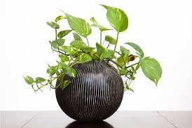 pothos plant care guide growing information and tips proflowers