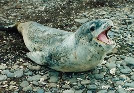 leopard seal happy feet wiki fandom powered by wikia