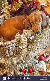 long haired dachshund sitting in a wicker basket and surrounded by