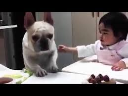 french bulldog and a birthday cake will he get it youtube