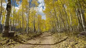 4k footage of the yellow fall autumn aspen trees of the colorado