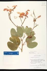 bauhinia purpurea species page isb atlas of florida plants