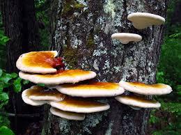 reishi lingzhi ganoderma tsugae ganoderma lucidum mushroom