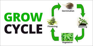 Light Cycle For Weed How To Grow Marijuana Step 2 Growing And Cultivation